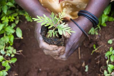 Fler nya träd planterade i Afrika